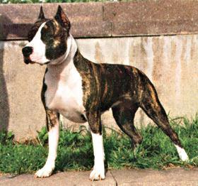 стаффордширский терьер-порода собак фото